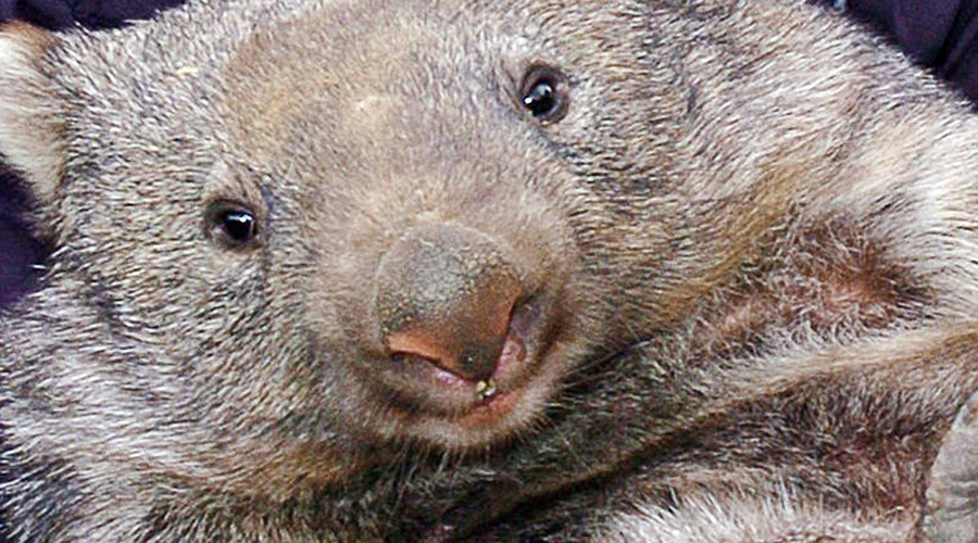 Wombat killer disease endangers 2 of Australia's 3 species