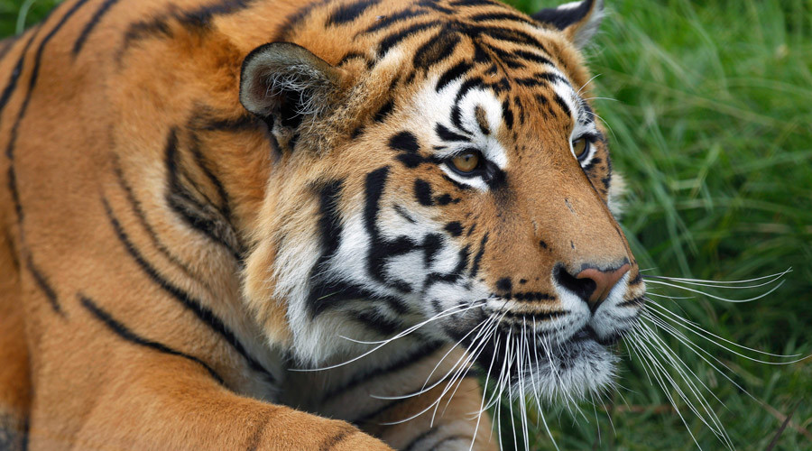 Live tiger cub mascot at Ohio school's football games under fire by animal rights groups