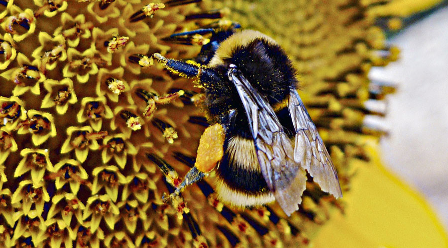 Infected bees seek out medicinal flowers - study