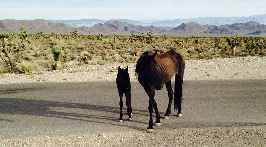 Govt land agency euthanized 28 wild horses starving in Nevada