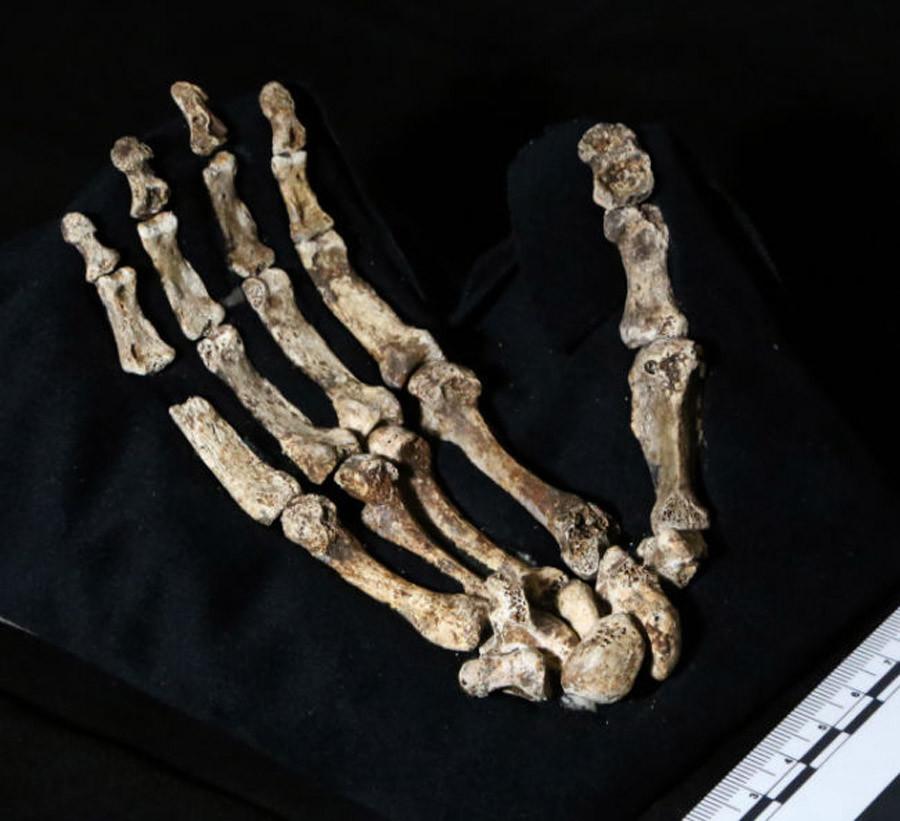 Homo naledi hand. © John Hawks / Wits University