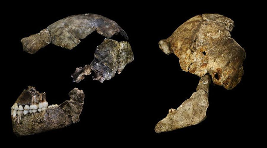 Crania lateral. © John Hawks / Wits University