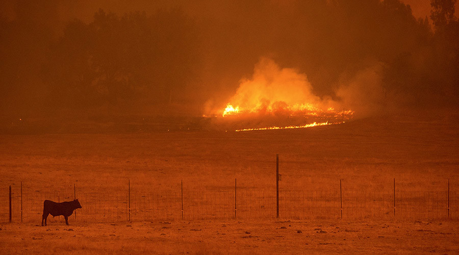 A cow grazes in a pasture as the Butte Fire burns Mountain Ranch, California September 11, 2015. © Noah Berger