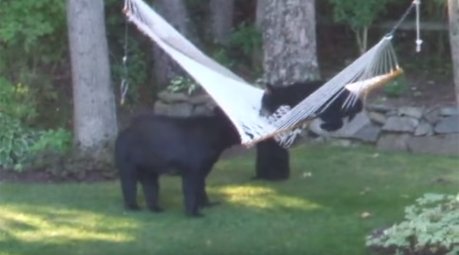 Unbearably cute? Bear cubs totally suck at mounting a hammock (VIDEO)