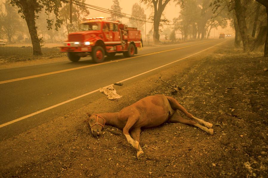 A dead horse lies beside Highway 175 after the Valley Fire raged through Middletown, California September 13, 2015. ©Noah Berger