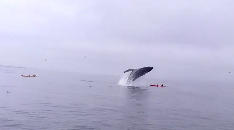 British kayakers survive collision with breaching whale (VIDEO)