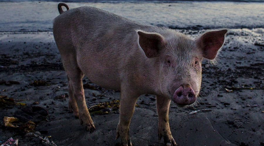 This little piggy went to Downing St: Petrified piglet dumped at UK PM Cameron's residence