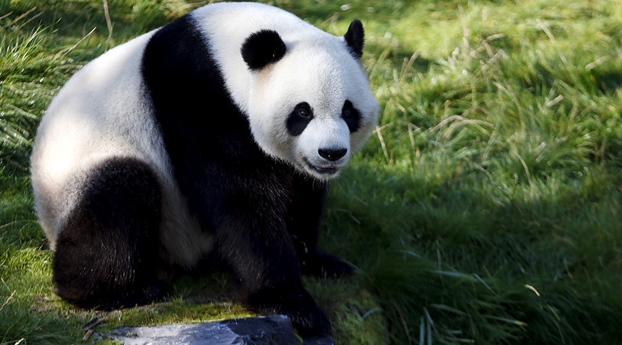 Bamboo poo: Microorganisms from panda feces could help develop new biofuel, Belgian scientists say