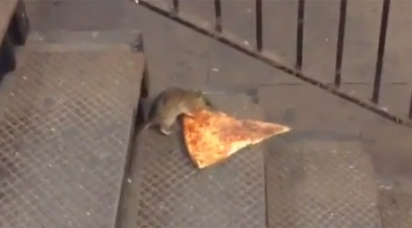 No rodent left behind: NYC rat goes to great lengths to recover dead pal (VIDEO)
