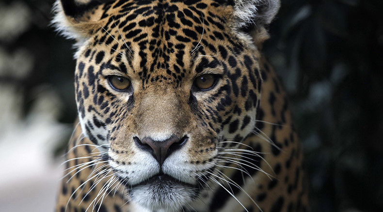 Too Fat To Breed Delhi Zoo Sends Back Glutton Jaguar