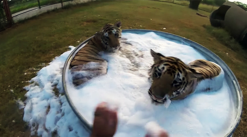 Two Cute Tigers Enjoy Taking Bubble Bath In Texas