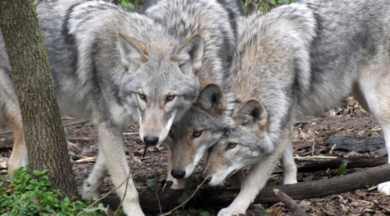Coywolf New Dog Coyote Wolf Hybrid Already Numbers In The