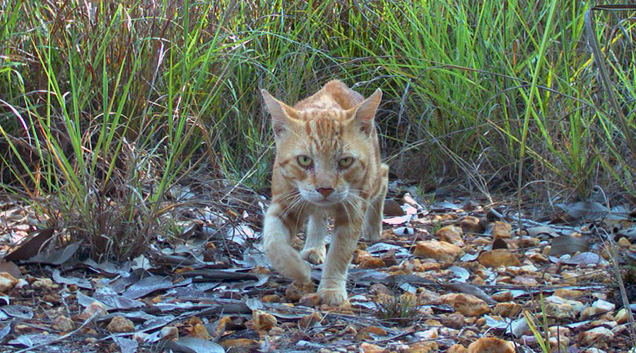'Killed 27 native species:' Australian govt defends plan to cull 2mn feral cats in open letter