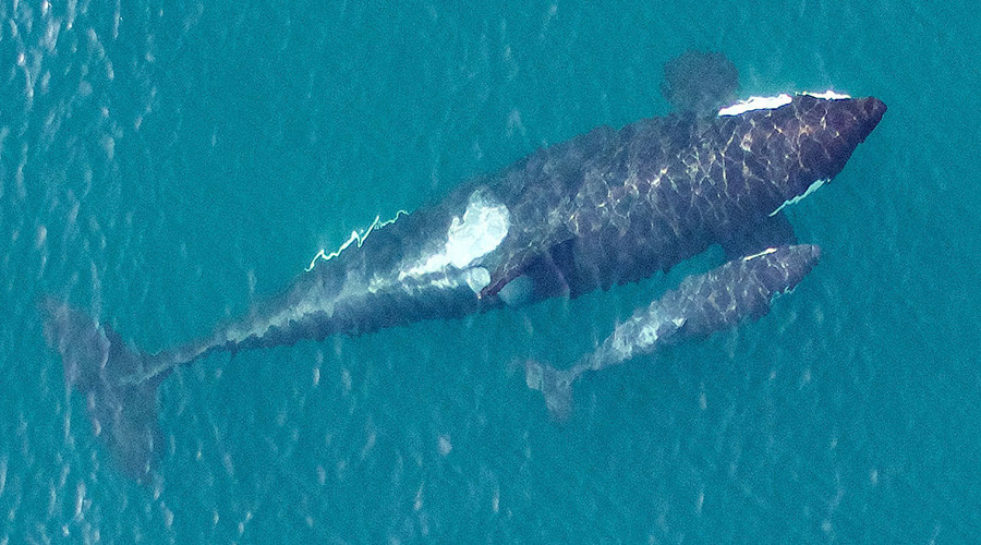 Stunning pictures of rare killer whales taken off Seattle coast (PHOTOS, VIDEO)