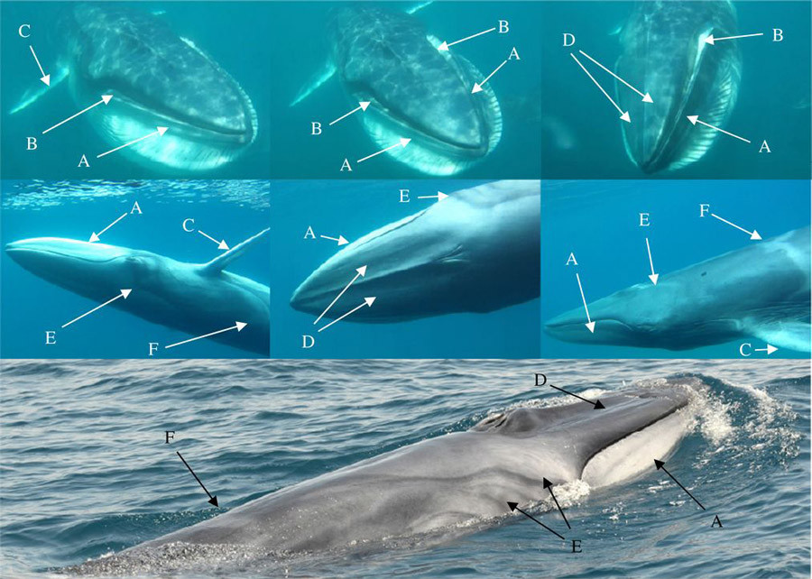 Images of Madagascar Balaenoptera omurai displaying details of pigmentation and external appearance. © rsos.royalsocietypublishing.org