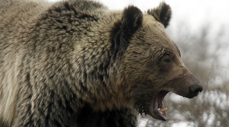 Gagging grizzly: Man escapes bear attack by jamming his arm down its throat