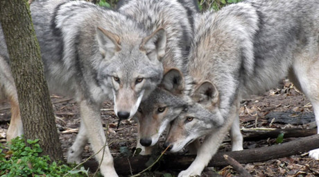 Coywolf: New dog-coyote-wolf hybrid already numbers in the millions