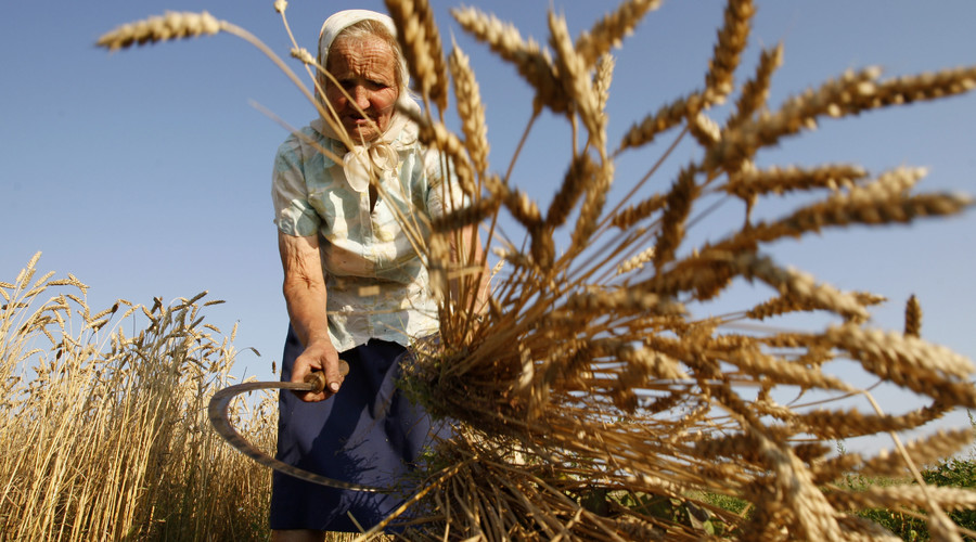 Women harvest wheat with a sickle near the village of Danilovichi, the Grodno region. © Egor Eryomov