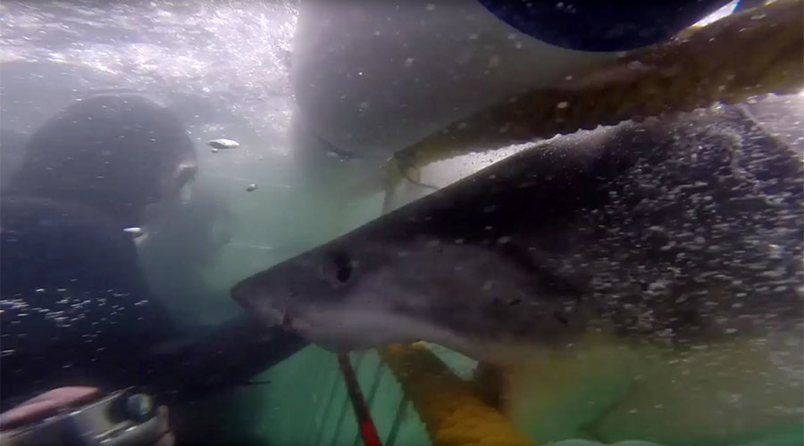 Jaws for real: Great white shark slams into diver's cage, narrowly misses his arm (VIDEO)