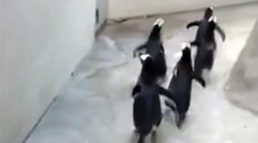 Mischievous penguins try to break out of Danish zoo (VIDEO)