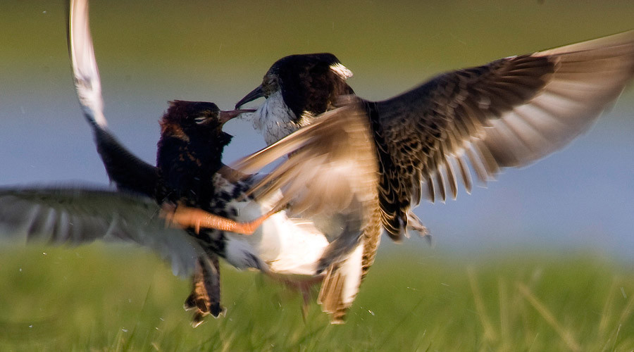 'Supergene' reveals birds who pretend to be female as a mating strategy
