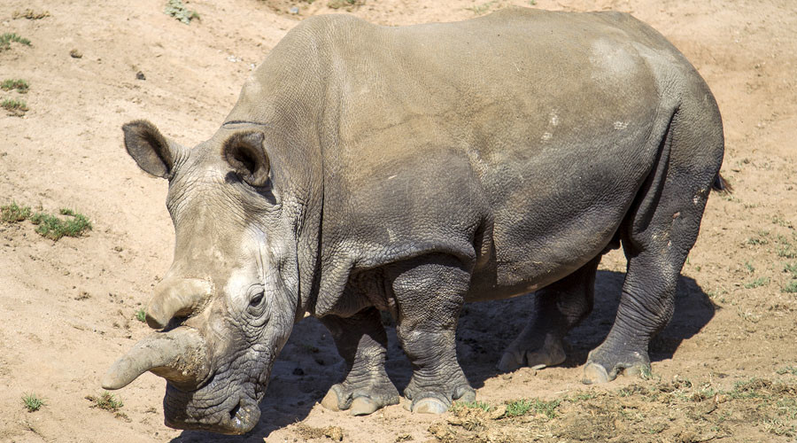 Nola, a 41-year-old northern white rhino who died November 22, 2015 at the San Diego Zoo Safari Park in California. © San Diego Zoo