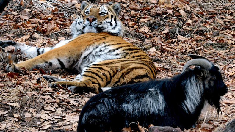 A Tiger And Goat Who Was Meant To Be Lunch Become Unlikely ...