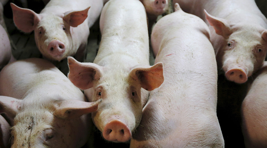 Woman faces 10 yrs in prison for giving thirsty pigs water