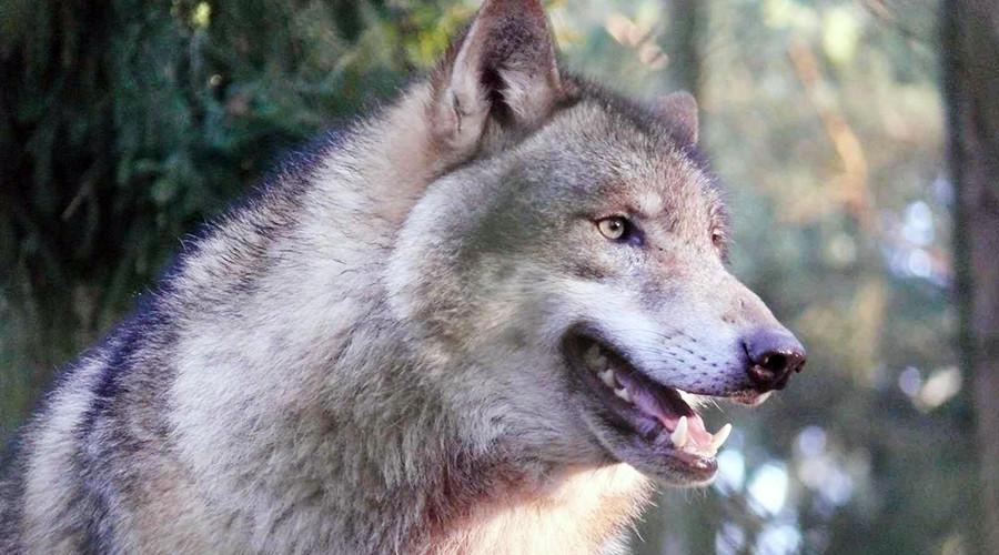 More than 11k Norwegians register to hunt… 16 wolves