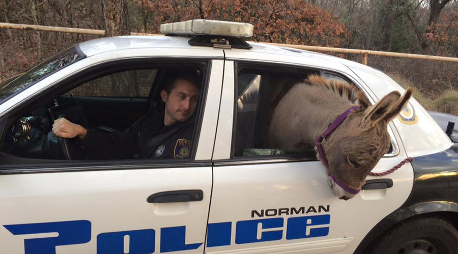 Get your ass outta here! Donkey poops in back of police car