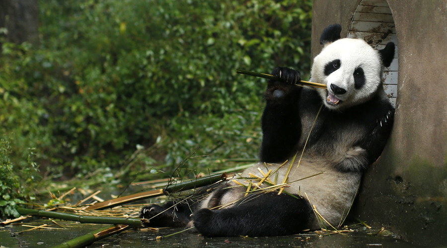 Panda-monium as cuddly bear defies his keepers (VIDEO)