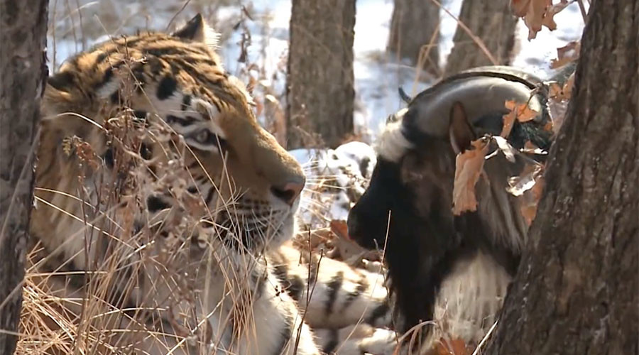 Lunchtime: Animal expert expects Russian tiger to finally gobble up goat pal