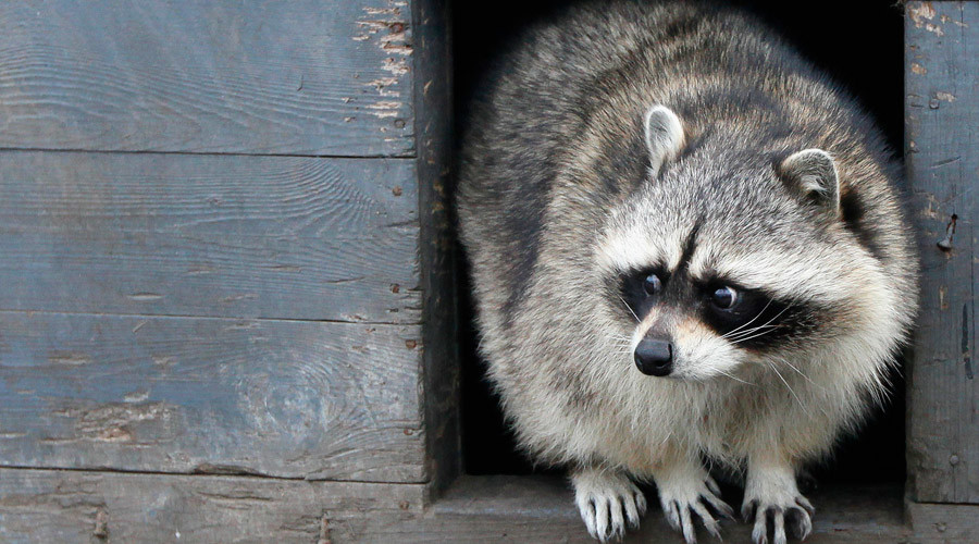 Go Rocky: Raccoon takes the train in Toronto