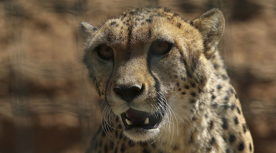 Air Force cheetahs attack officer in South Africa