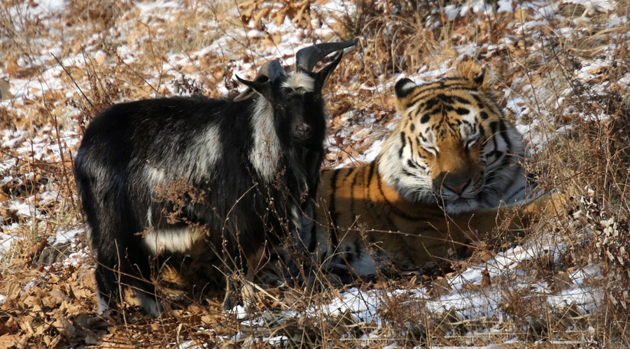 New movie stars? Tiger & goat pals in Russian safari park to be filmed by S. Korean director