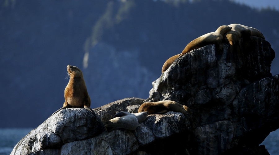Sea lions suffer from Alzheimer's-like brain damage due to algae toxins – study