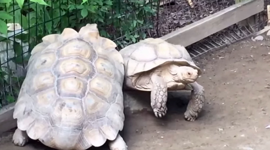 Hero in a half shell: Turtle rescues stuck buddy