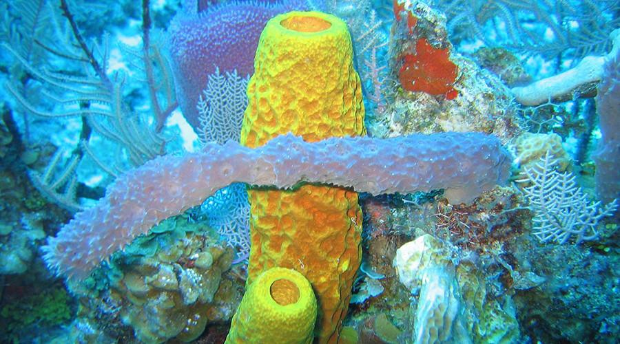 Sponge biodiversity and morphotypes  © NOAA / Wikipedia