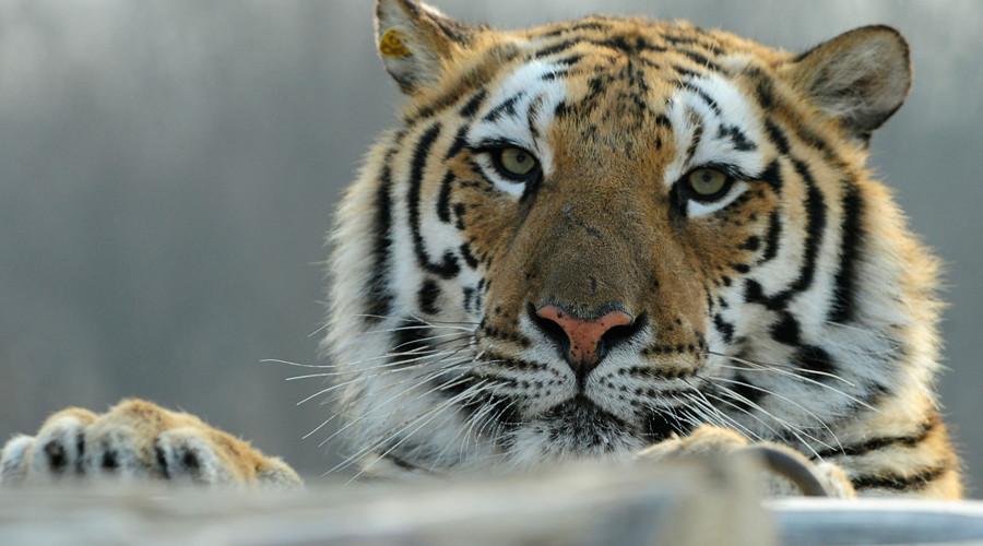 Man jumps into tiger enclosure at China zoo