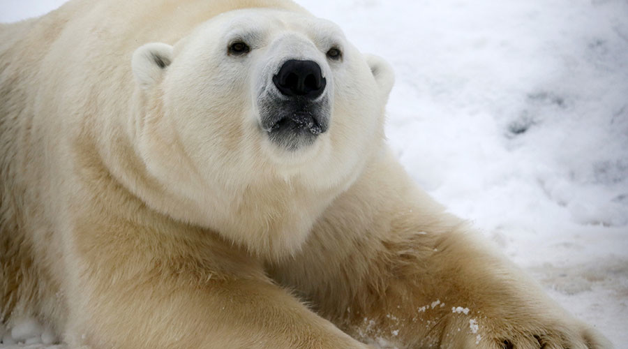 San Diego polar bears get snowy surprise: 26 tons of snow to play in (VIDEO)