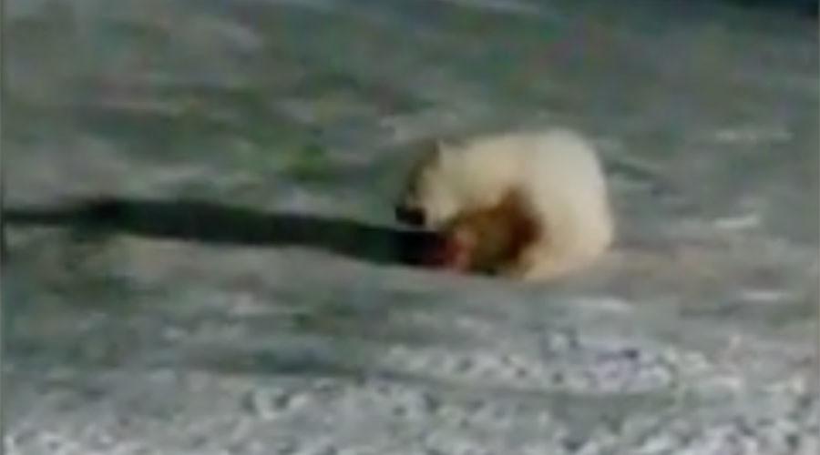'Unimaginable cruelty': Polar bear maimed by firecracker, unlikely in self-defense