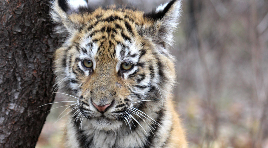 'It was exhausted': 4-month-old orphaned tiger cub found by locals in Russian Far East