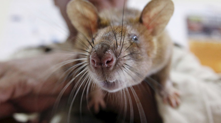 Rat on a plane! Rodent forces London-bound Air India flight to turn back