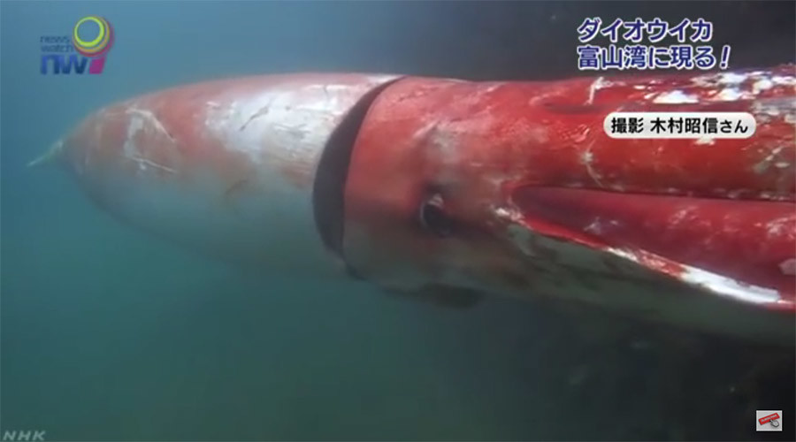 Ink-redible: Giant squid makes rare appearance, swims with human 56869ae4c46188a44f8b45b0
