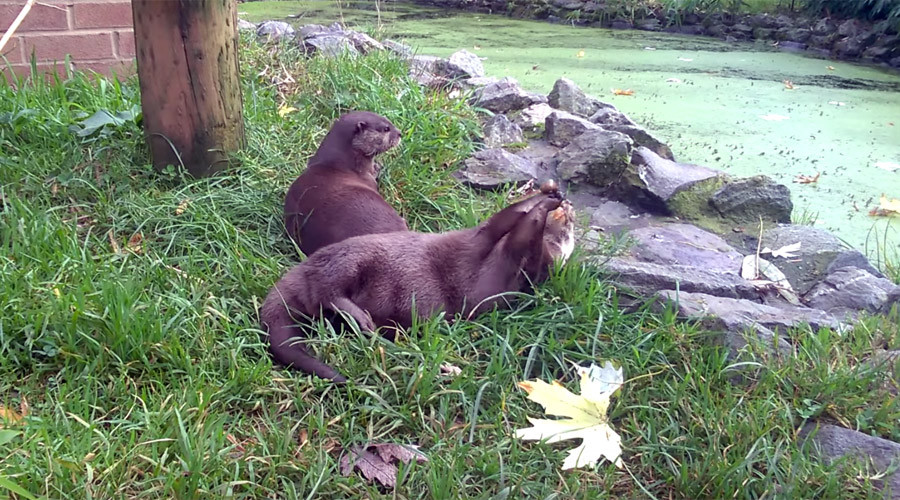 Otters show off impressive juggling skills (VIDEO)
