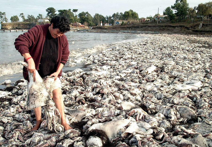 A Chilean works to clean up the thousands of dead jumbo flying squid