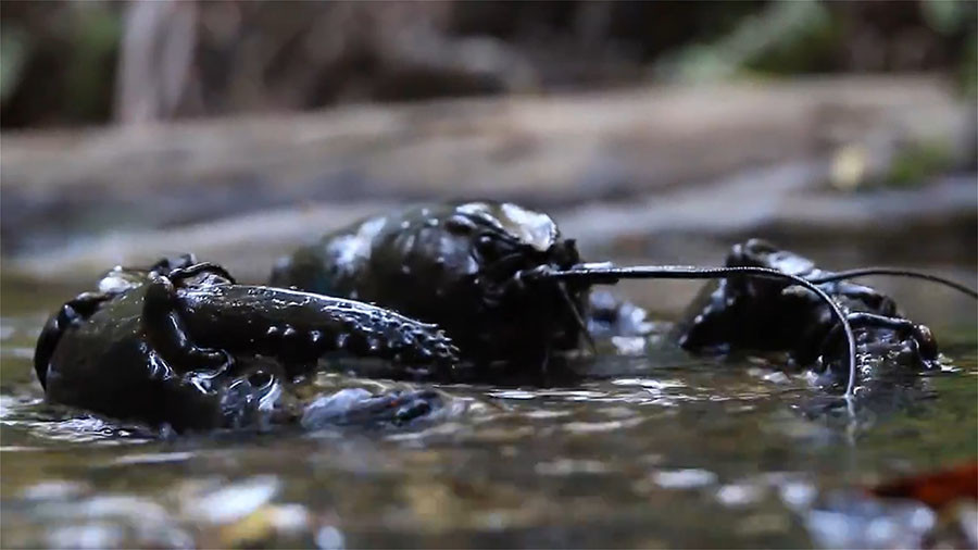 The crayfish can weigh up to 5kg when fully grown. ©Stewart Hoyt