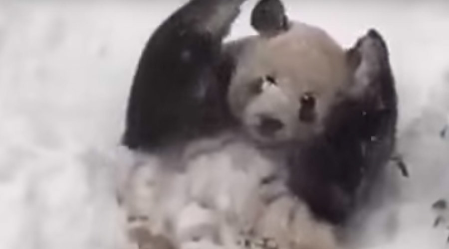 Happy panda: DC zoo bear enjoys blizzard snow (VIDEO)