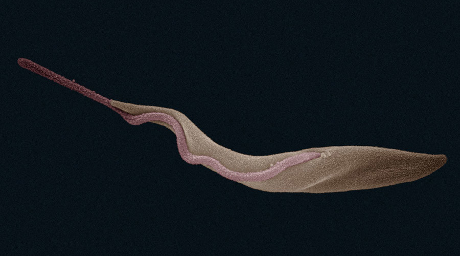 Deadly sleeping sickness parasite could face extinction due to lack of libido - study