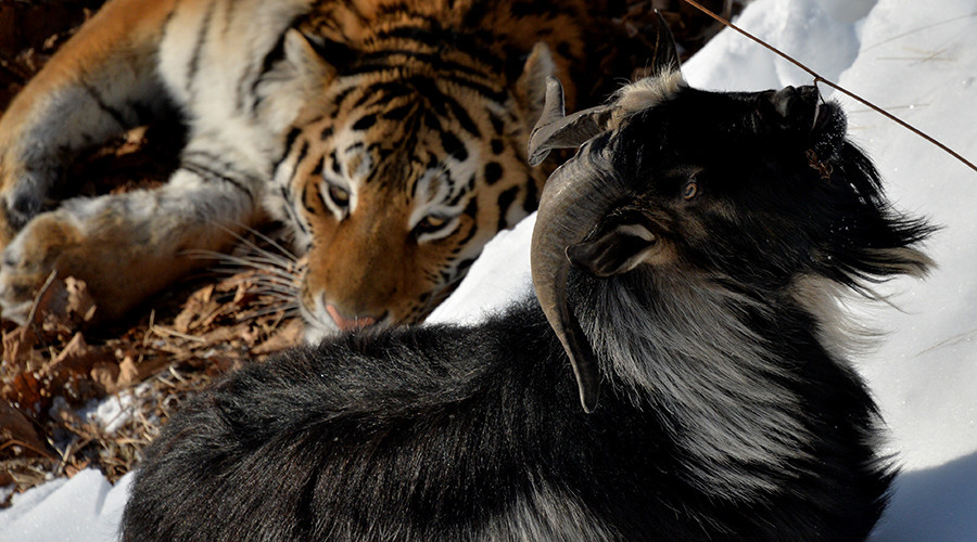 Trouble in paradise: Amur the tiger mauls 'roomie' Timur the goat (VIDEO, PHOTOS)